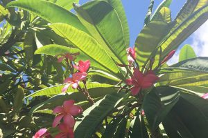 Pink plumerias and blue skies. The perfect hump day in #Kihei. Hope you're all enjoying! #IChooseBeauty Day 1042