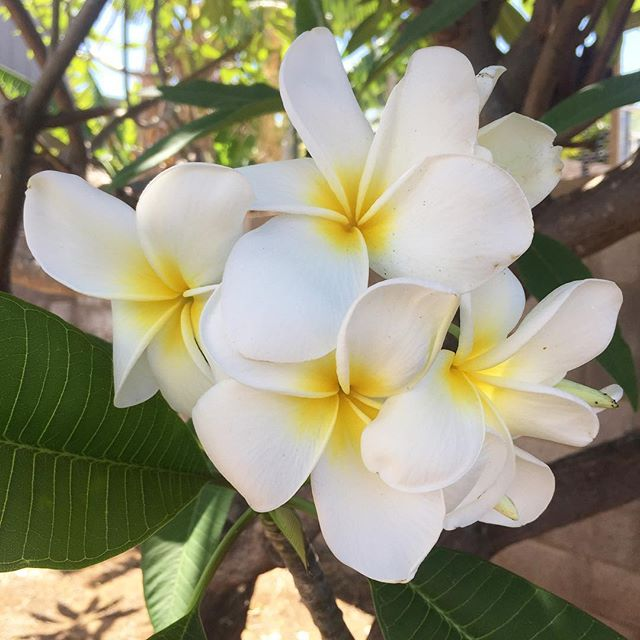 Today's #IChooseBeauty Challenge is to take a picture of something that smells good: I'm in love with plumerias! #IChooseBeauty Day 1272