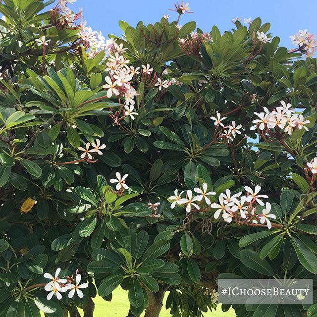 Saw this gorgeous plumeria tree as I was out and about today. What beauty did you see? #IChooseBeauty Day 1747