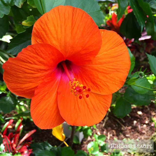 This is the first orange hibiscus I've ever seen. So beautiful! 🧡🧡🧡 #IChooseBeauty Day 1767