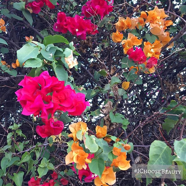Flowers in 2 different colors on the same bush. Well done, lil bush. 🧡🧡 #ichoosebeauty Day 2163