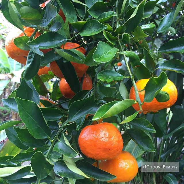 My first tangerine tree sighting. So pretty... and it smelled incredibly good!   #ichoosebeauty Day 2293